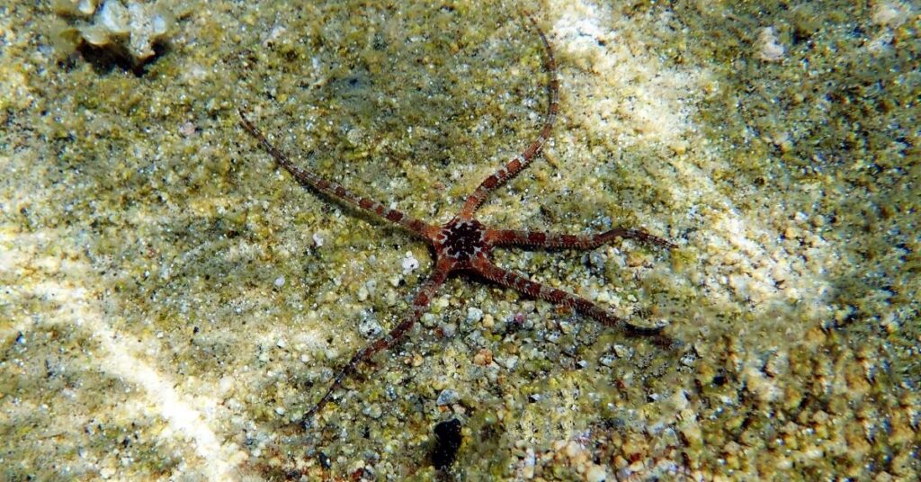 Banded Serpent Starfish (Banded Brittle Star)
