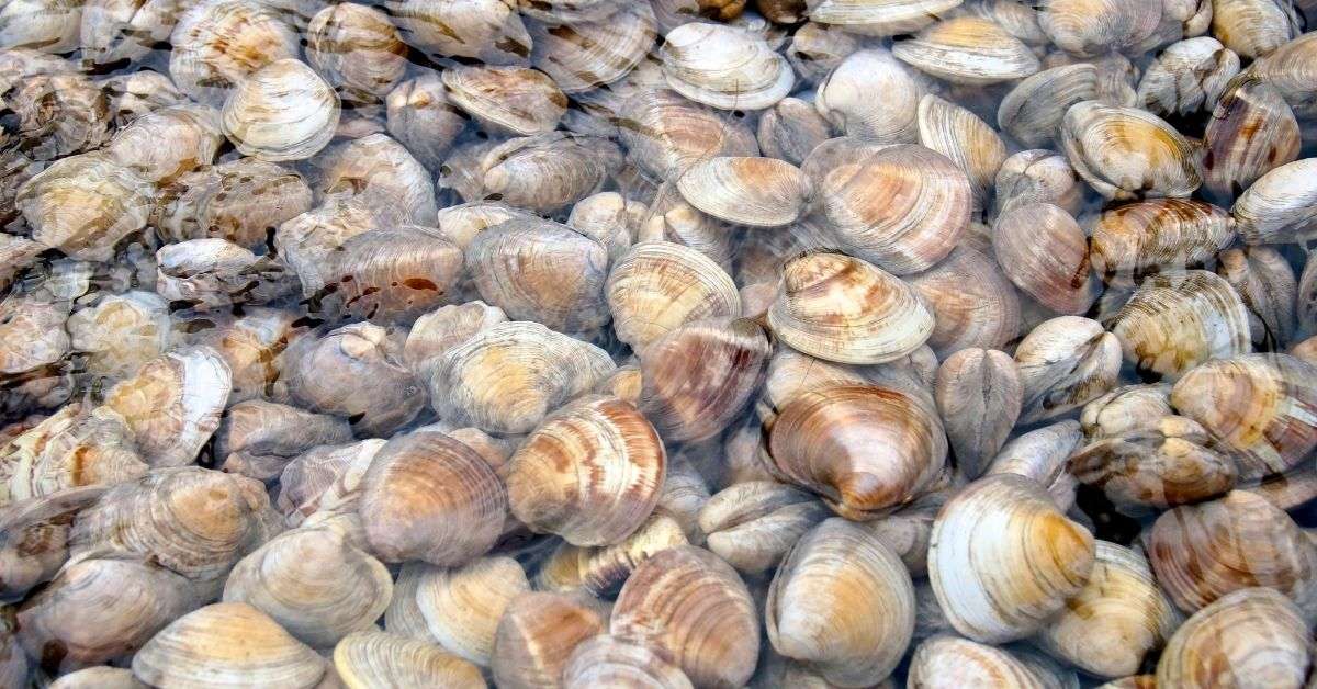 Cleaner Clams care in a reef tank