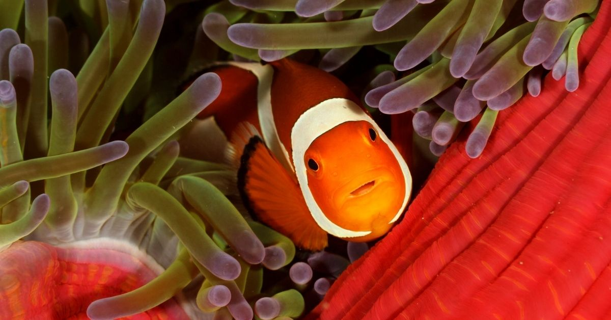 Clownfish Fin Rot: What Does It Look Like, and How to Cure It?