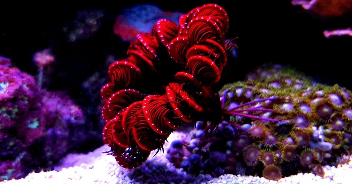 Feather Starfish: Care, Diet, Are They Poisonous?