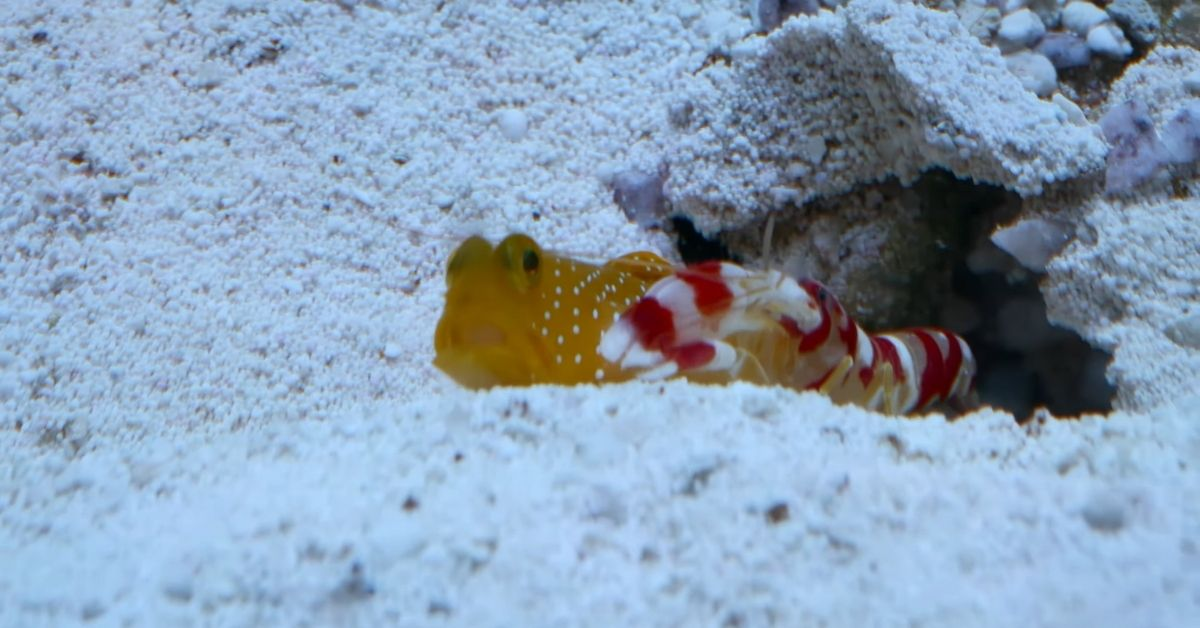 Diamond Goby and Pistol Shrimp: the Relationship Between These Two