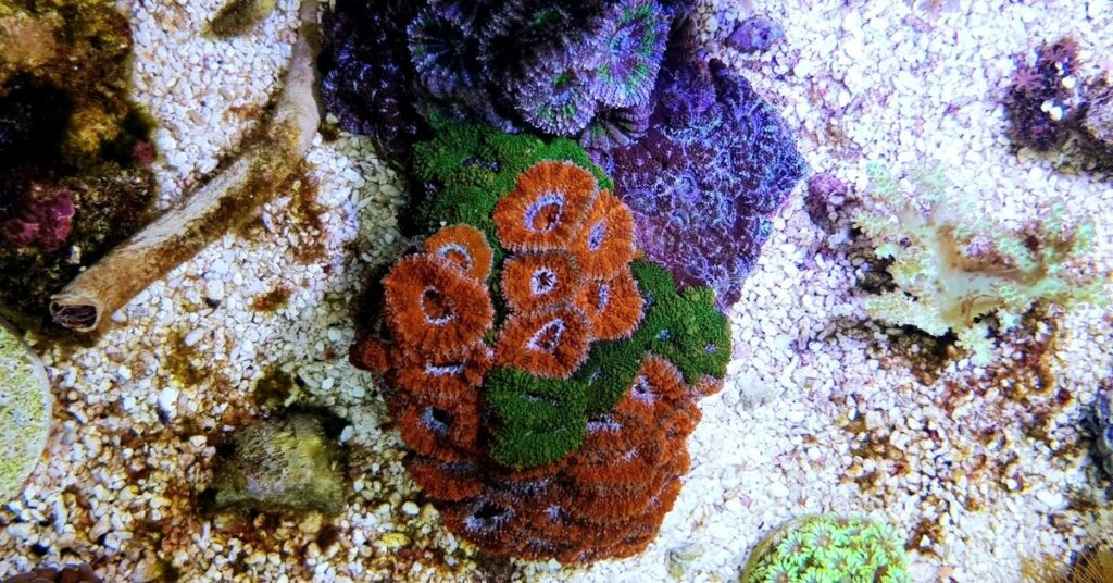Micromussa Lordhowensis - Acan Lord