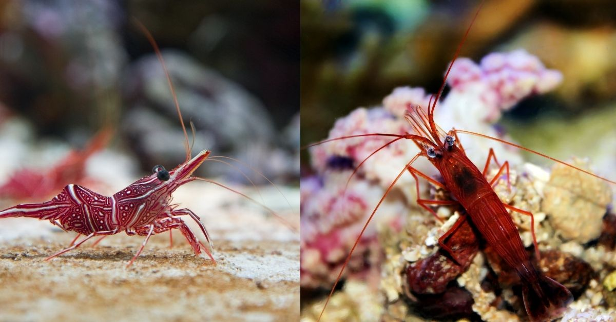 Peppermint Shrimp vs Camel Shrimp: 7 Differences That You Need to Know!