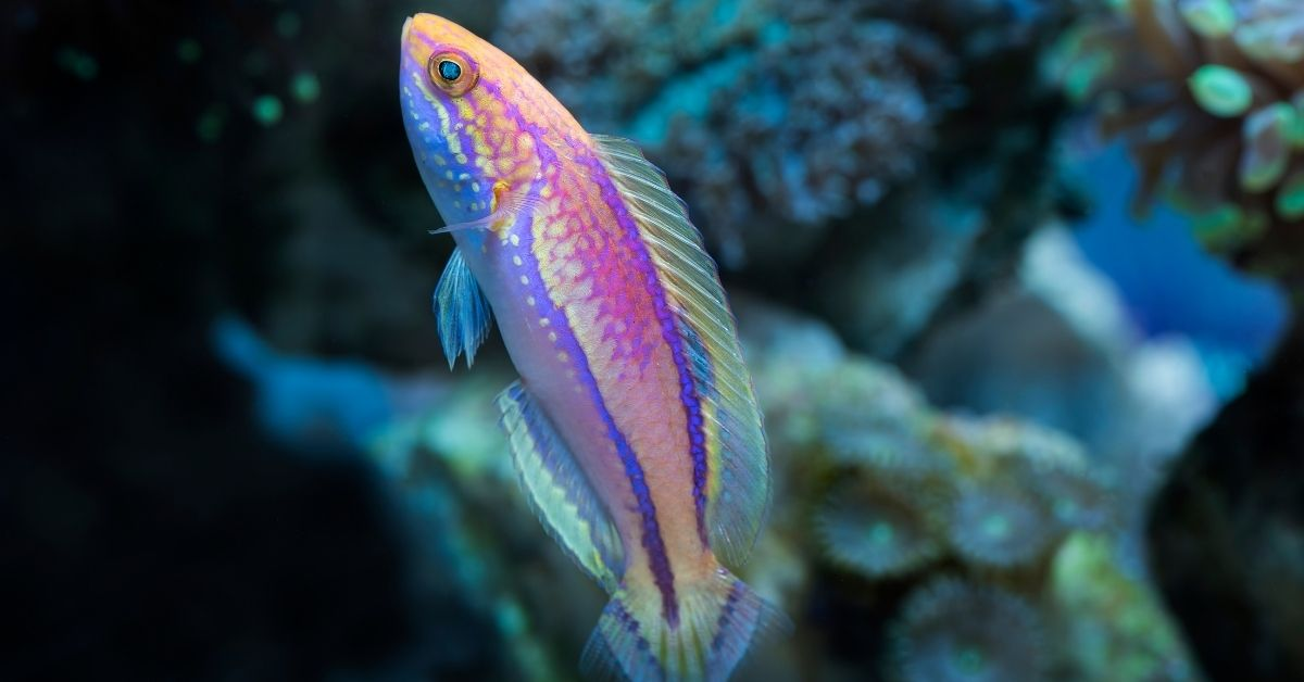 Pintail Fairy Wrasse Care