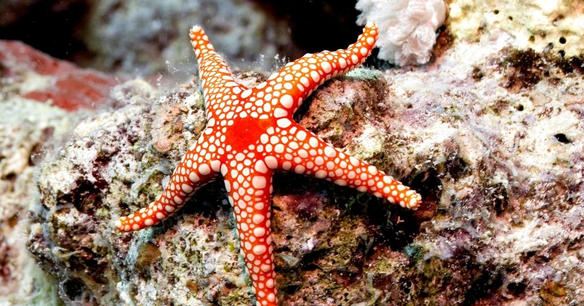 Are Starfish Reef Safe? [5 Examples of Reef safe starfish]