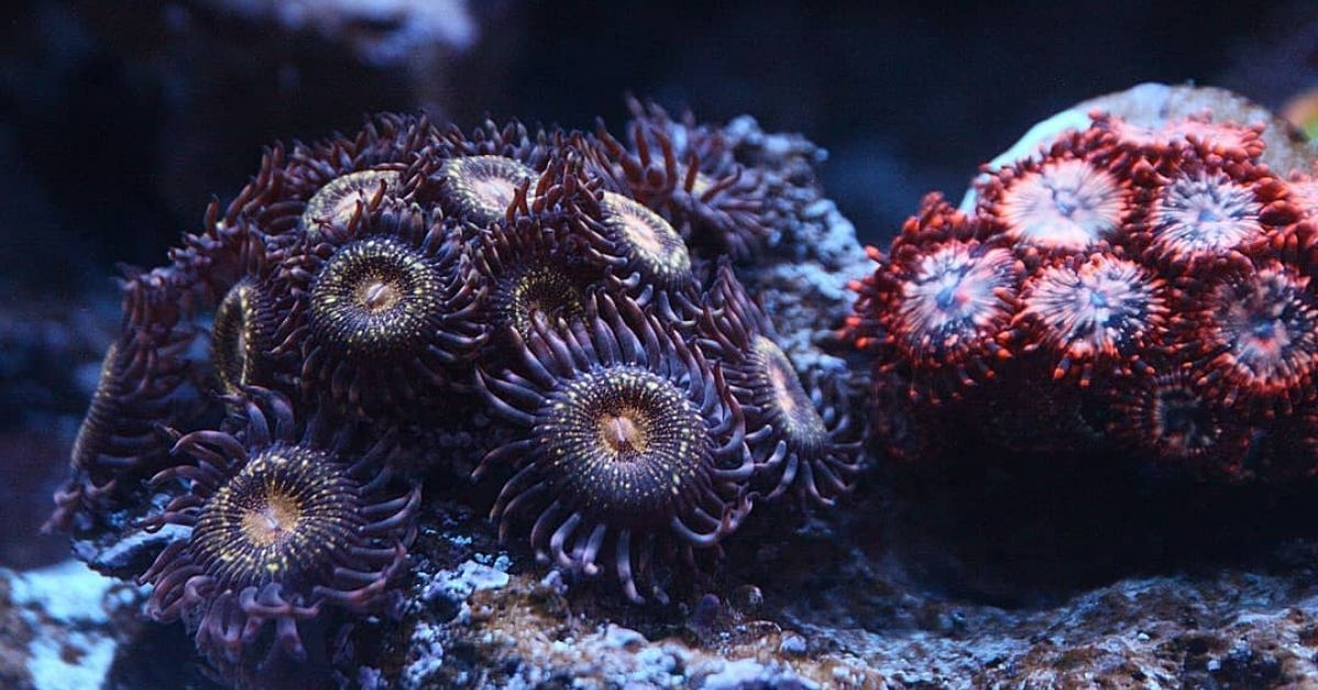 Reverse Space Monster Zoa care