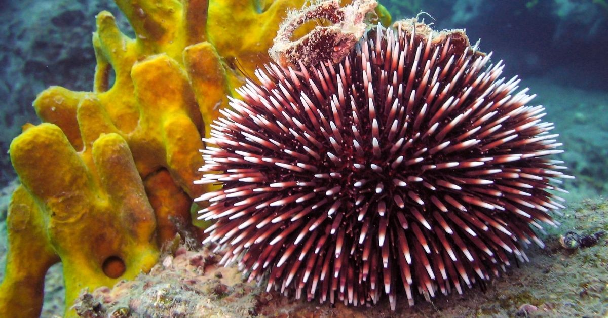 How To Tell If Sea Urchin Dead? And How They Lose Their Spines?