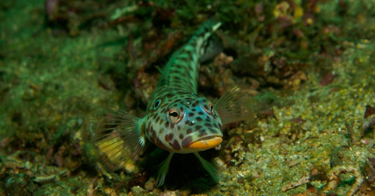 What Do Gobies Eat?