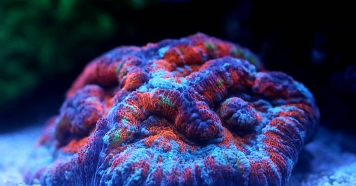 Wilsoni Coral Care: Placement, Lighting, and Feeding