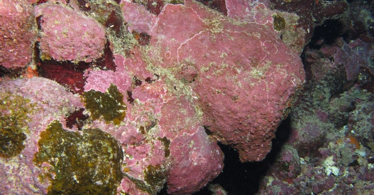Coralline Algae and Cyanobacteria: What Are the Differences?