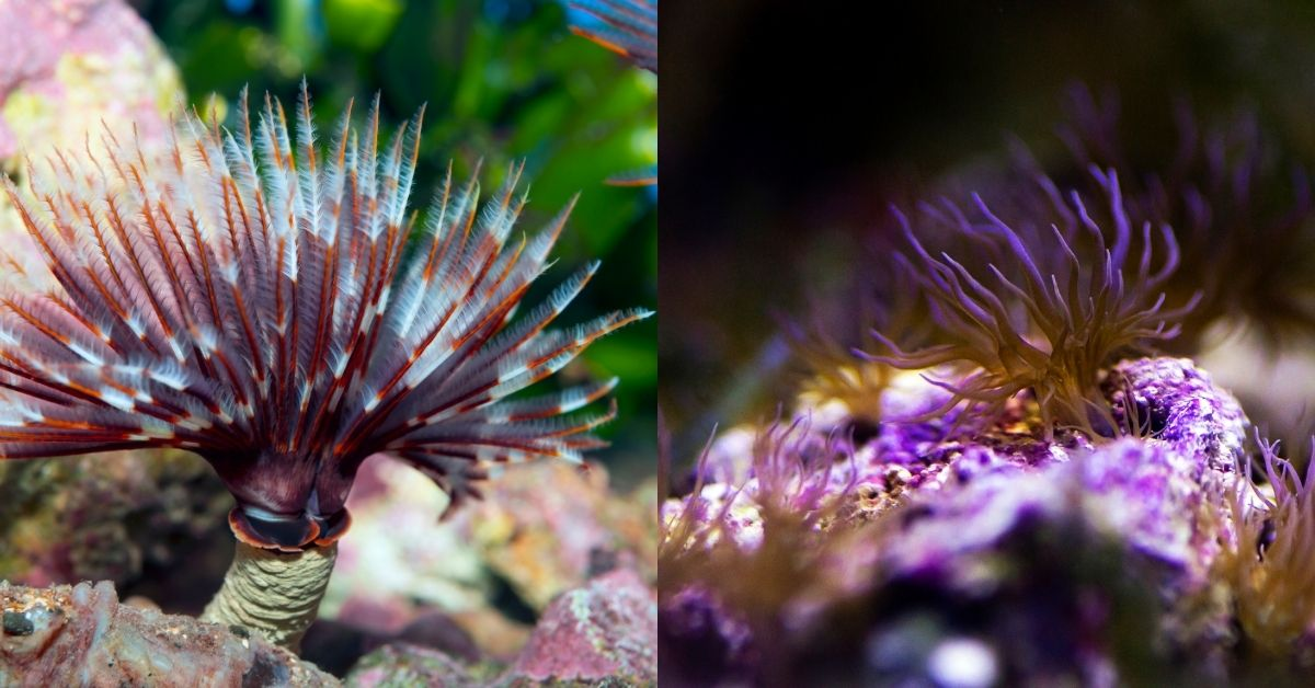 Feather Dusters vs. Aiptasia