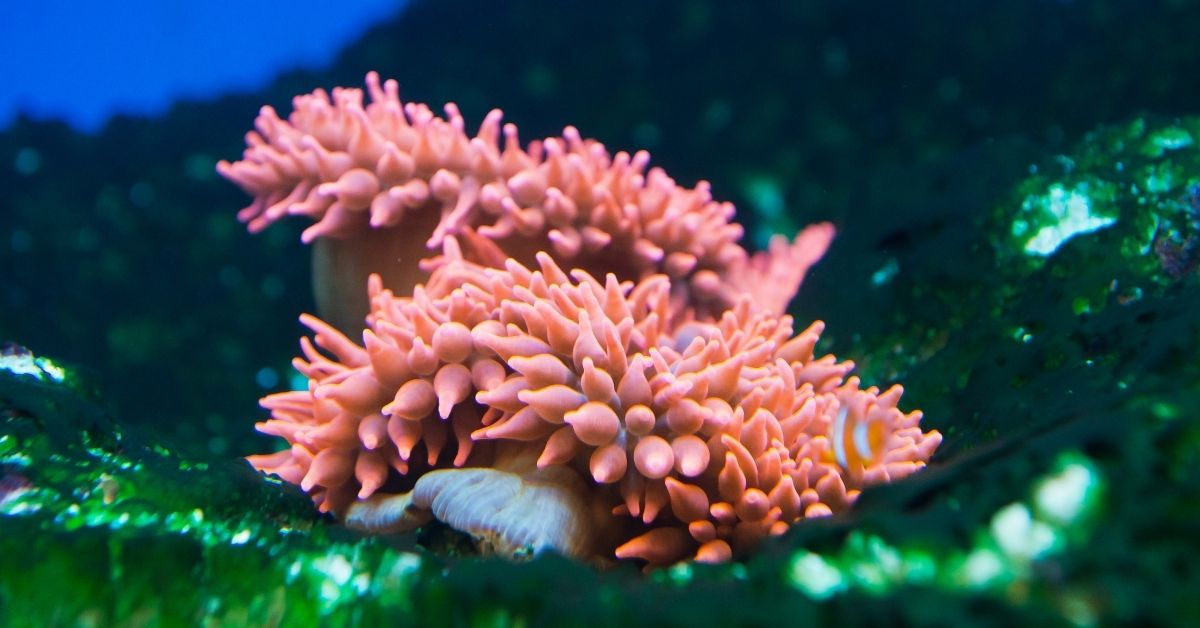 How to acclimate bubble tip anemone?