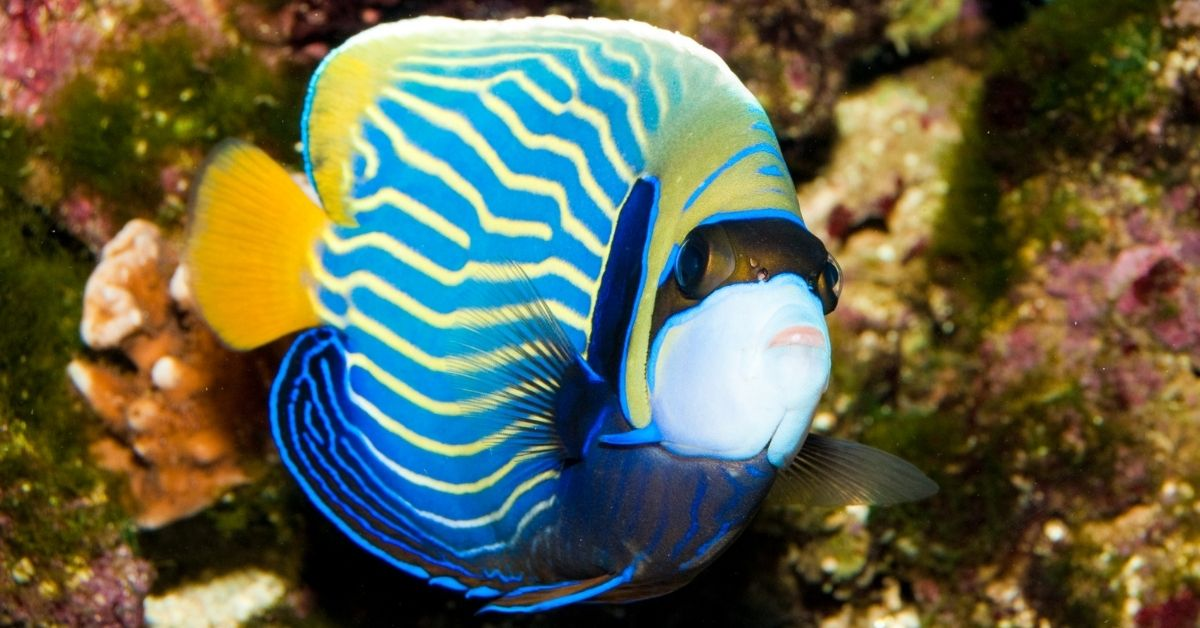 Popeye on Emperor Angelfish in a Saltwater Tank: Causes and Treatment