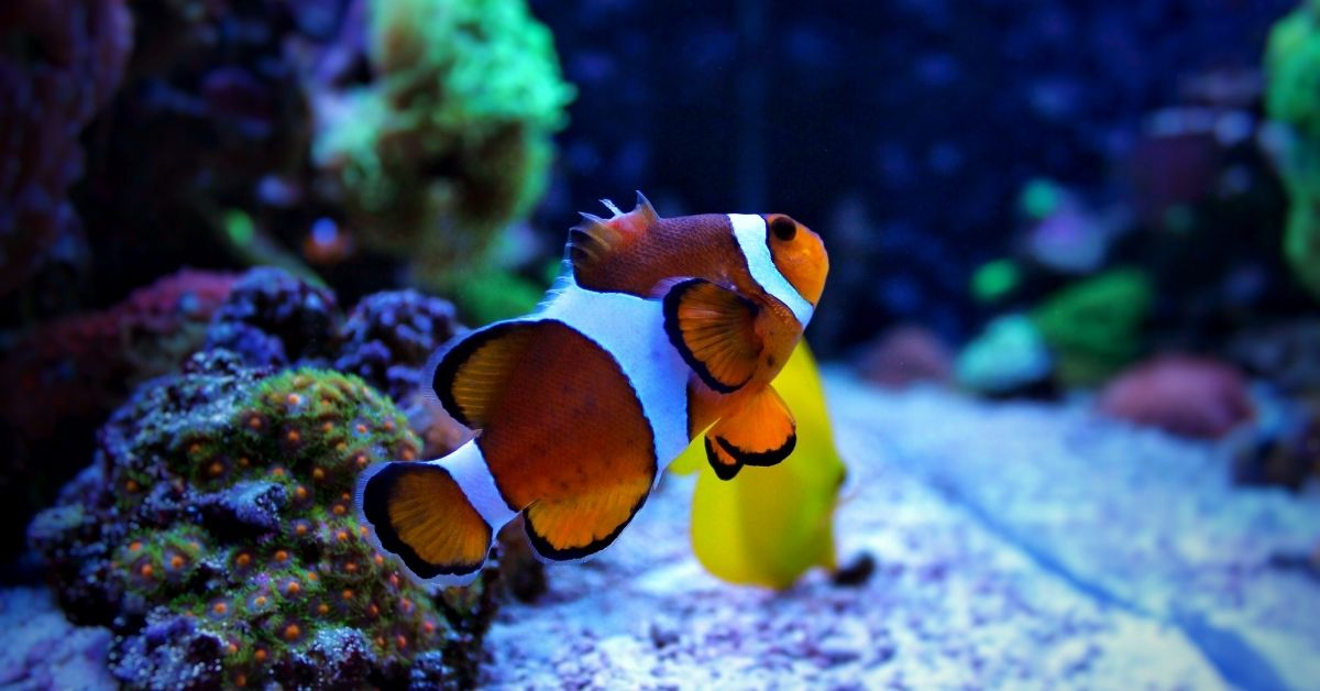 Why are my clownfish swimming at the top of the tank?