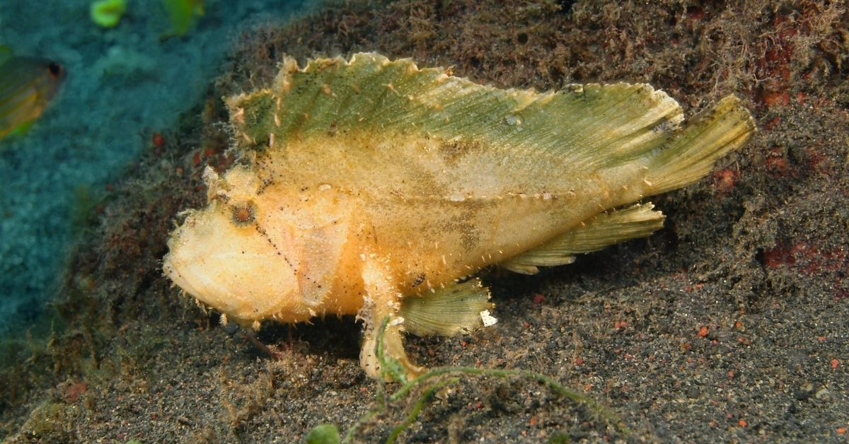 Anglerfish Care - Can You Keep This Fish as a Pet in Your Saltwater Tank?