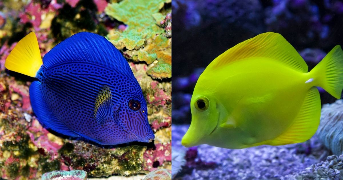 Can Yellow Tang and Purple Tang Live Together in the Same Tank?