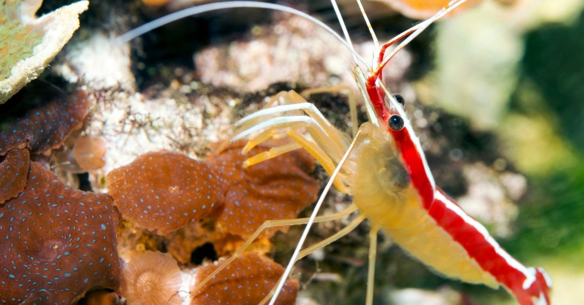 Do Cleaner Shrimp Need to Be Acclimated?