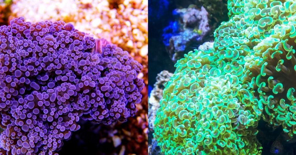 Frogspawn Coral and Hammer Coral - Differences Between These Corals