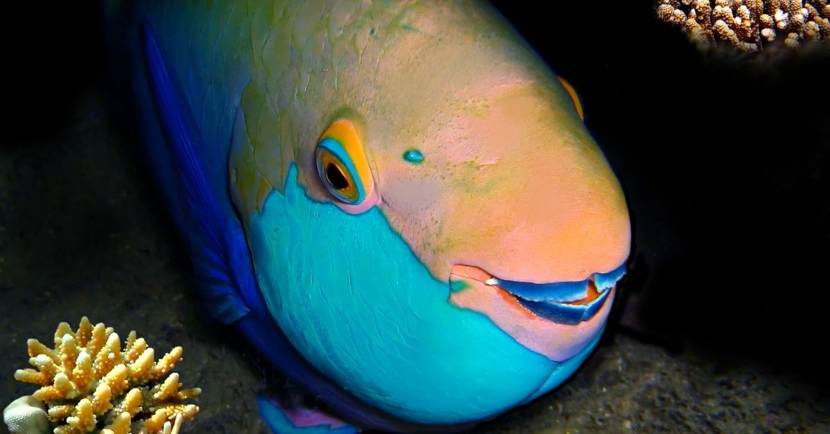 Is Quoyi Parrotfish Reef Safe? What Do They Eat?