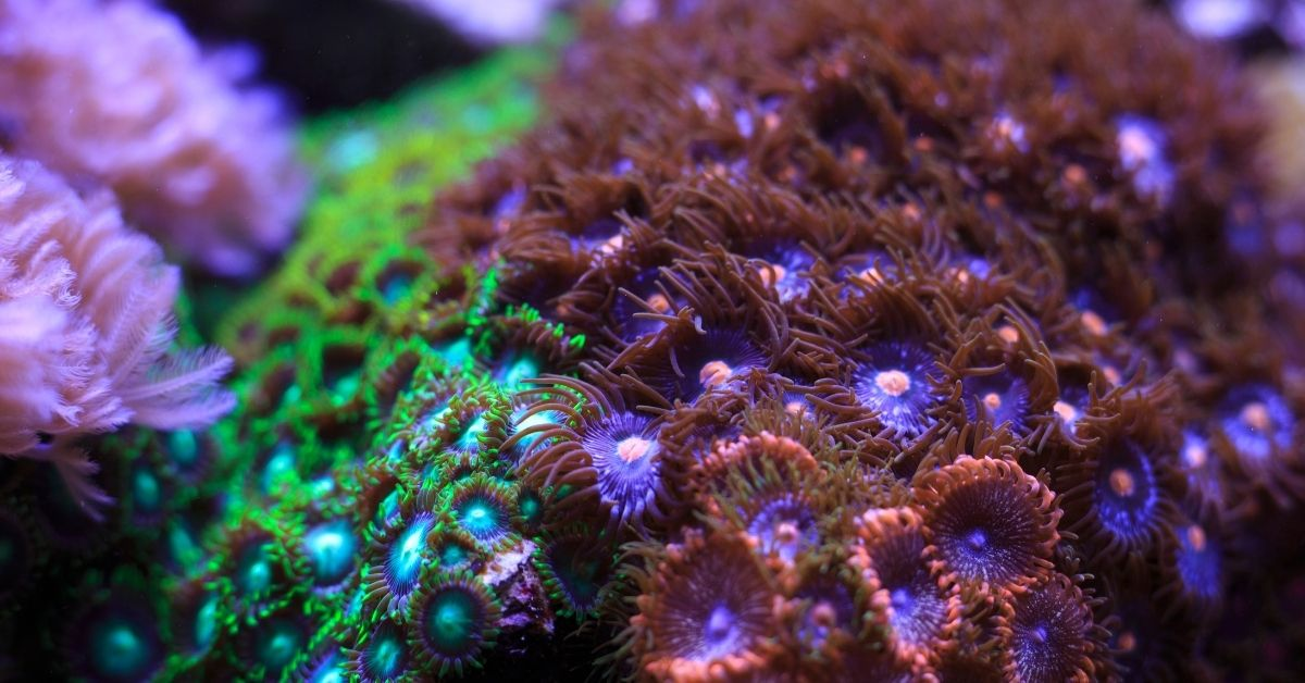 Why Are Zoanthids Dying in My Reef Tank?